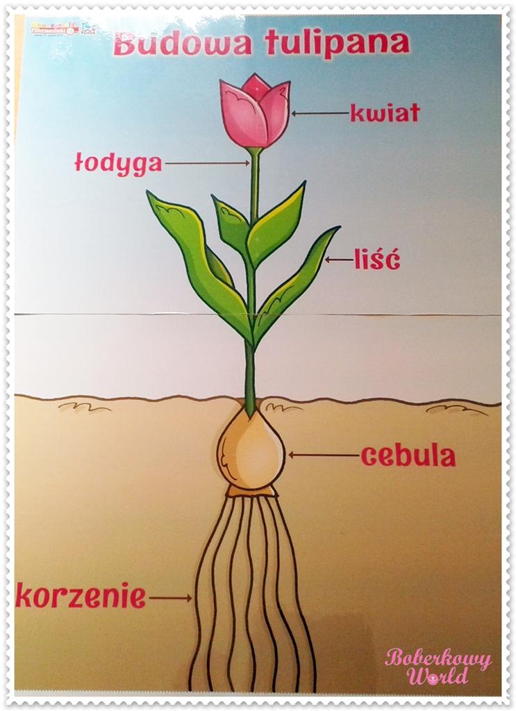tulipan budowa.jpeg