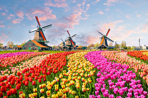 tulipany w holandii9.jpeg